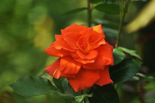 Orange Rose, Bloom, Flower, Garden, Greens, Green