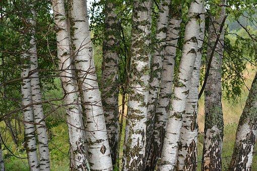 Birch Tree, Tree, Bosk, Holt, Hirst, Grove, Trees