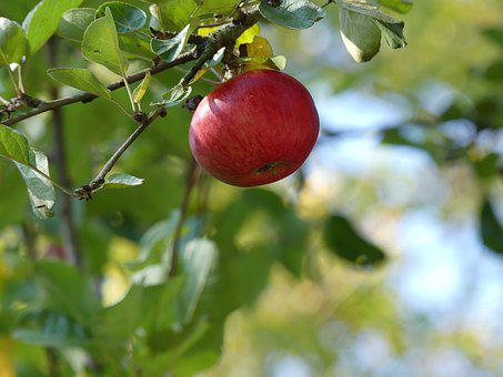 Harvest, Apple, Fruit, Kernobstgewaechs, Autumn, Red