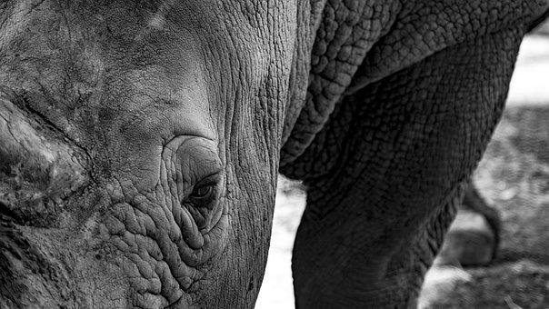 Rhino, Eye, Nature, Head, Animal, Rhinoceros, Wildlife