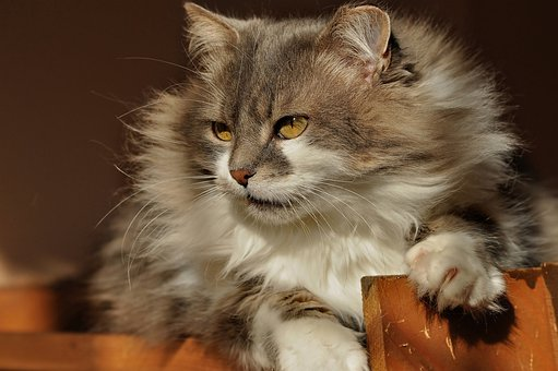 Cat, Furry, Watch, Attention, View, Hunting, Fur, Cute