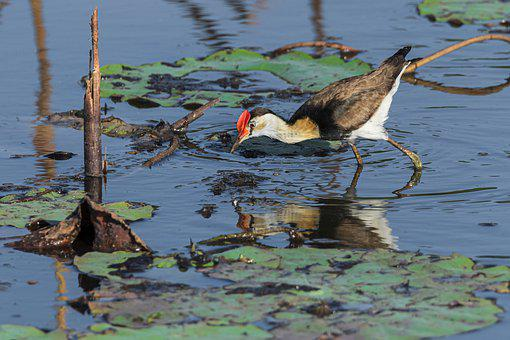 Water Birds, Crested Jacana, Lagoon, Birds, Wildlife