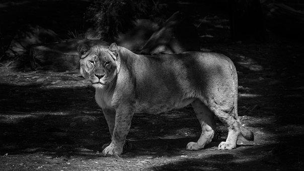 Lion, Nature, Animal, Africa, Safari, Wildlife
