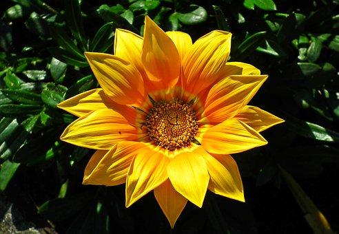 Gazania, Flower, Yellow, Nature, Summer, Garden, Macro