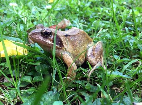 Common Frog, Rana Temporaria, Nature, Pond, Wildlife
