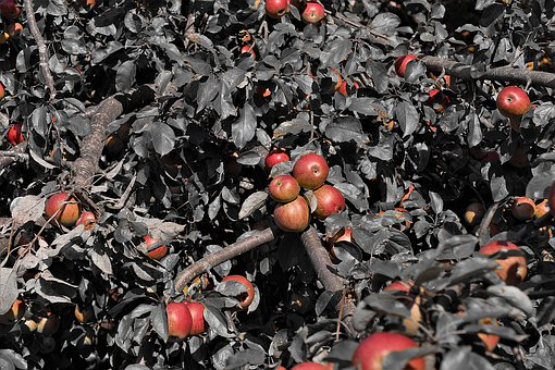 Apple Tree, Apple, Fruits, Red, Kernobstgewaechs, Fruit