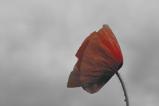 Poppy, Red, Blossom, Bloom