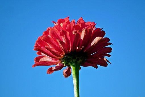 Zinnia, Flower, Red, Sky, The Background, Garden