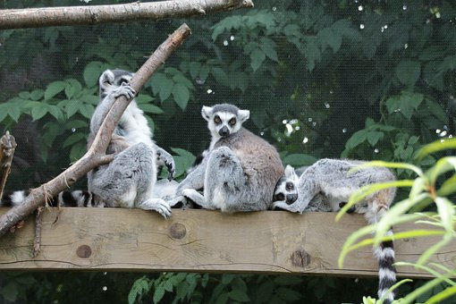 Lemurs, Family, Zoo, Madagascar, Cute, Young, Ringed