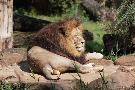 Lion, Predator, Africa, Safari, Animal World