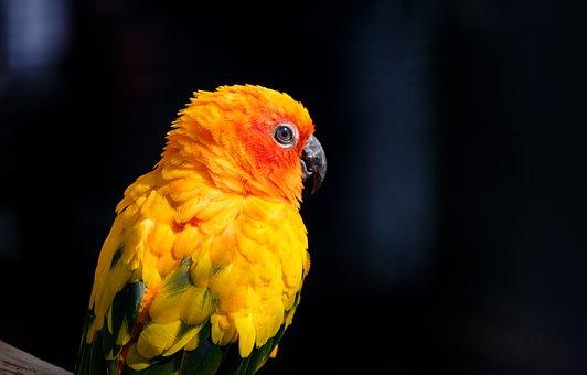 Parrot, Parakeet, Sun Parakeet, South American Parrot