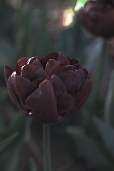 Tulip, Black, Double, Spring, Tulips, Flowers, Flora