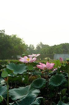 Lotus, Flower, Green, Colorful, Spring, Pink