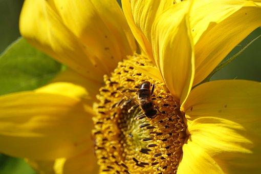 Sunflower, Bee, Bees, Flower, Yellow, Summer, Seeds