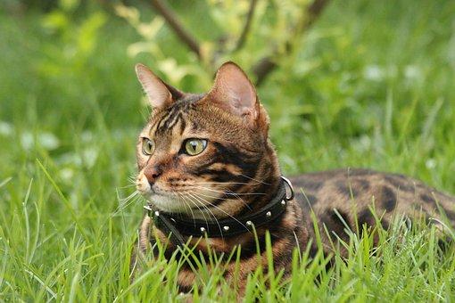 Bengal Cat, Cat, Tiger, Bengal, Feline, Animal, Nature