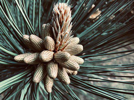 Pine Flower, Tree, Conifer, Blossom, Bloom, Beautiful