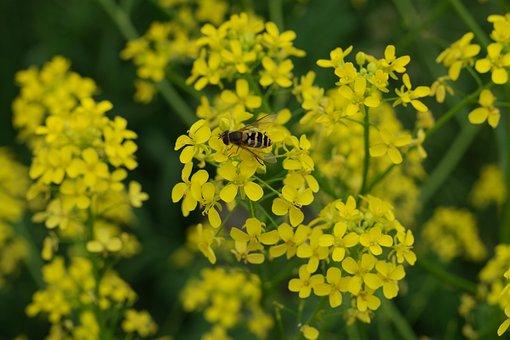 Bunia Orientalis, Zack Schötchen, Weed, Flower, Plant