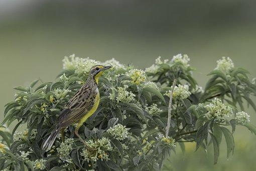 Yellow, Tallow Throated Long Claw, Yellow Bird