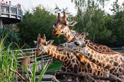 Prague, Zoo, Giraffes, Animals, Nature, Beautiful