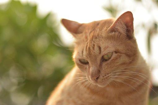 Orange Cat, Ginger Cat, Pet, Adorable, Portrait