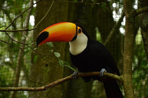 Brazil, Bird, Toucan, Nature, Parrot, Animal, Colorful