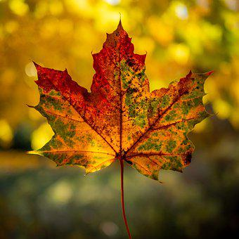Autumn, Maple, Leaf, Red, Through, Yellow, Color
