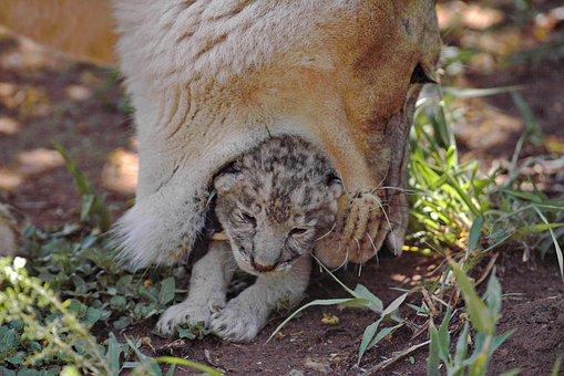 Lion, Lioness, Mother Lion, Mother, Baby, Lion Cub