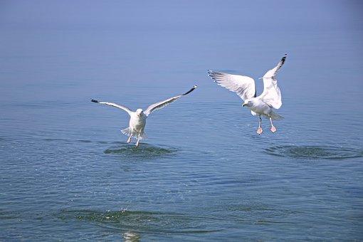 Gulls, Seagull, Bird, Wing, Sea, Flying, Animal, Sky