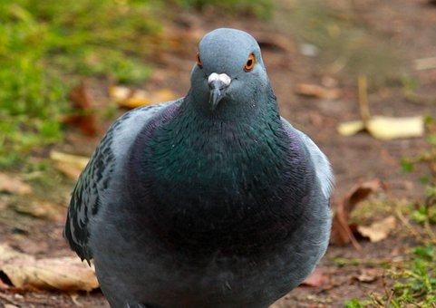 Dove, Bird, Pen, Plumage, Pigeons, Birds, Beak