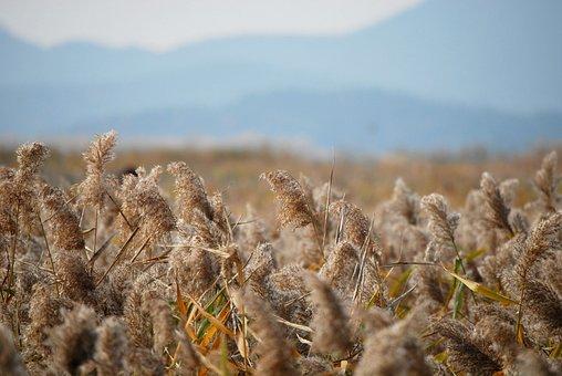Autumn, Reed, Nature, Lake, Sky, Scenery, Grass, Break