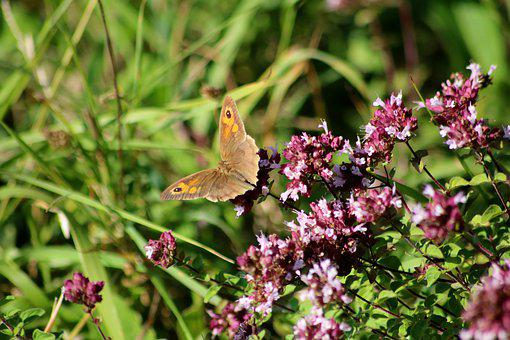 Meadow Brown Butterfly, Brown Butterfly, Brown