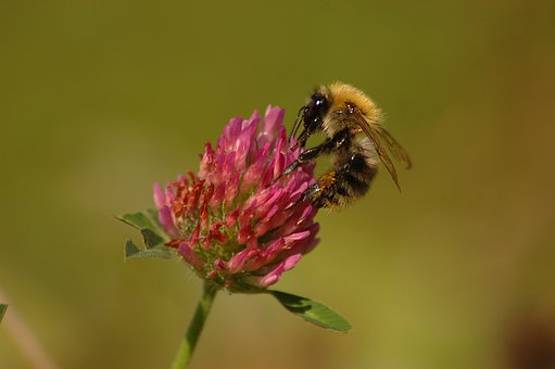 Bumblebee, Clover, Nectar, Pink, Flower, Insect, Light