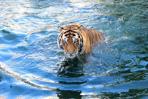 Tiger, Feline, Animal, Cat, Wildlife, Predator, Mammal