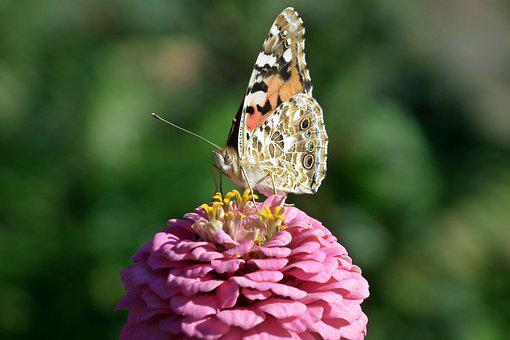 Butterfly, Insect, Zinnia, Flower, Colored, Nature