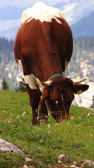 Cow, Nature, Animal, Cattle, Alpine, Ruminant, Rural