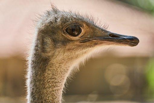 Ostrich, Bird, Egg, Gaga, Up, Eye, Eyes, Overview