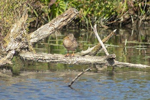 Duck, Wild Ducks, Teal, Female, Chick, Bird, Birds