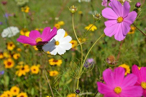 Flowers, Flower Meadow, Cosmea, Cosmos, Flower Garden