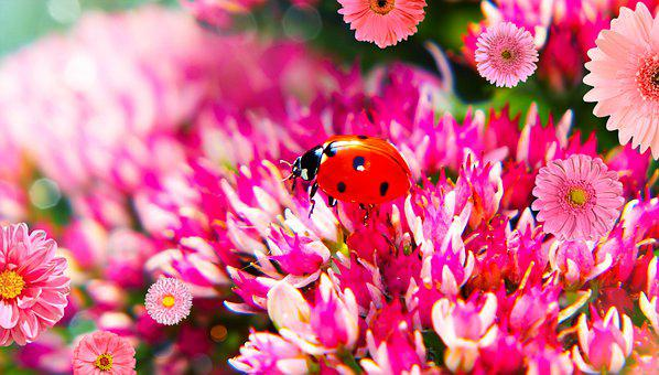 Septempunctata, The Beetle, Flowers, The Petals