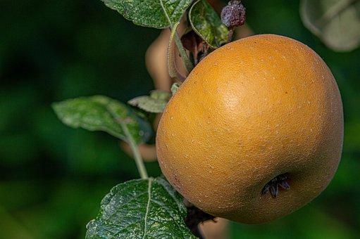 Apple, Apple Rust, Agriculture, Autumn, Food