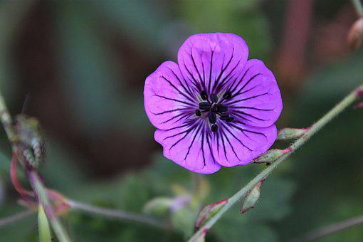 Flowers, Indigo Color, Plants, Garden, Gardening