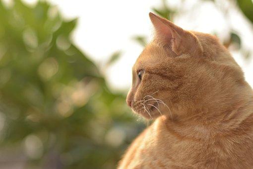Cat Portrait, Orange Cat, Ginger Cat, Animal, Pet, Cute