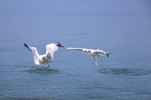 Seagull, Gulls, Bird, Wing, Sea, Flying, Sky, Nature