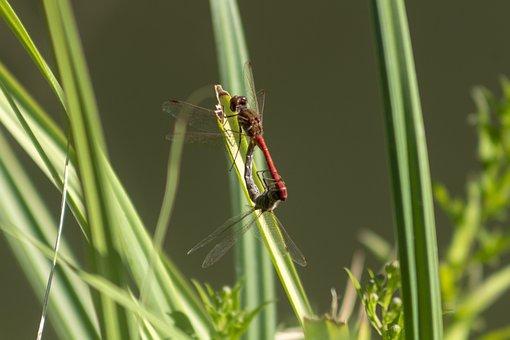 Dragonfly, Insect, Macro, Beetle, Wing, Wings, Eye