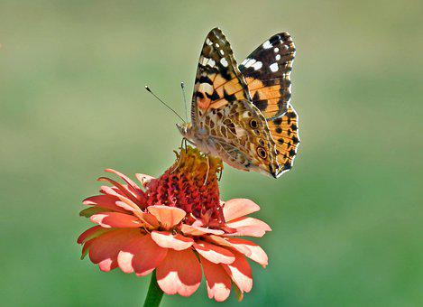 Butterfly, Insect, Zinnia, Flower, Orange, Nature