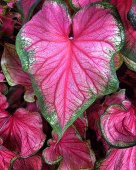 Leaf, Plant, Color, Pink, Green, Summer, Nature, Garden