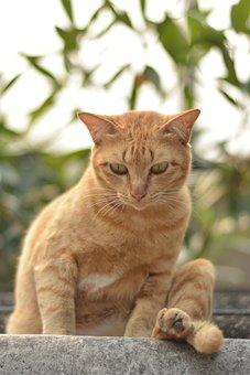 Orange Cat Sitting By Looking Down, Pet, Orange Cat
