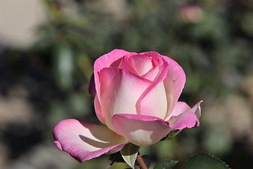 Pink, Color Pink, Flowers, Flowering Shrubs, Garden