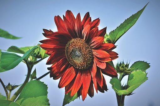 Sunflower, Flower, Blossom, Bloom, Summer, Bloom