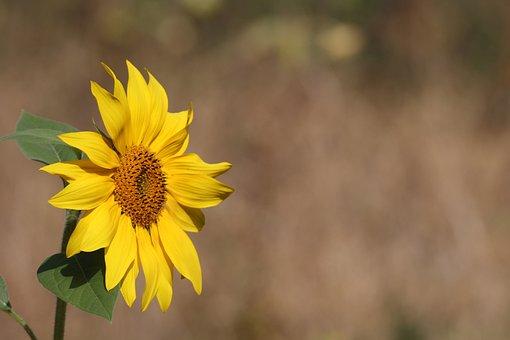 Sunflower, Autumn, Light, Yellow, Blossom, Bloom